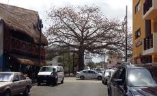"""Decretarán cinco árboles """"monumentales"""" en Playa del Carmen"""